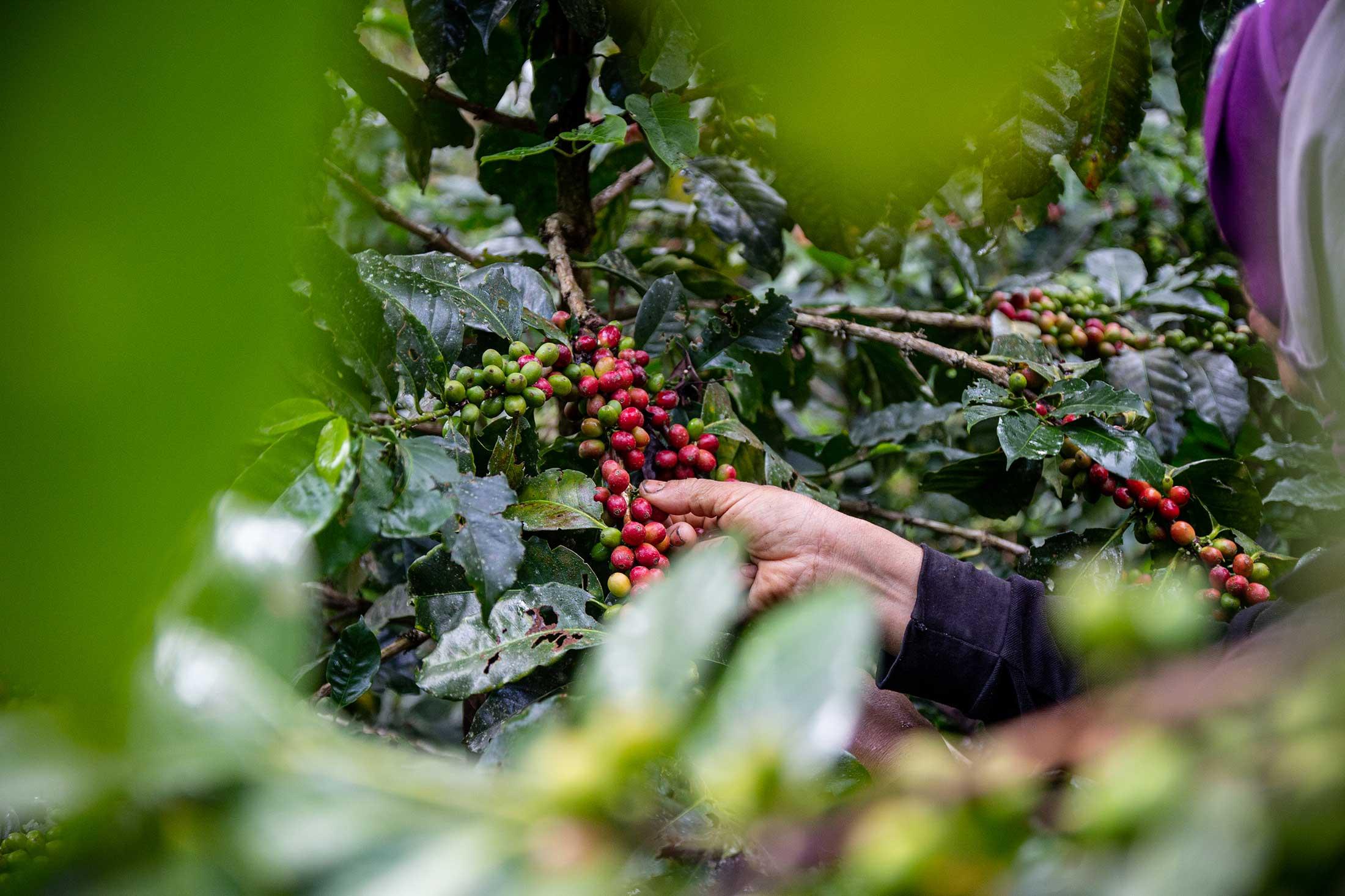 Wer pflückt unseren Kaffee?