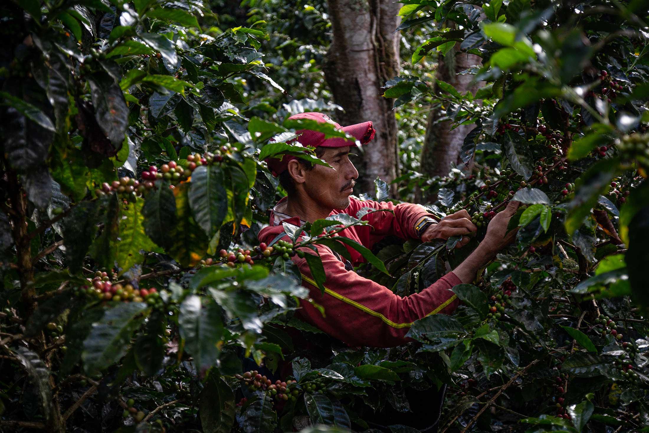 Qualität statt Quantität: José Luís beim Kaffee-Ernten auf Miguel Ángels Farm.