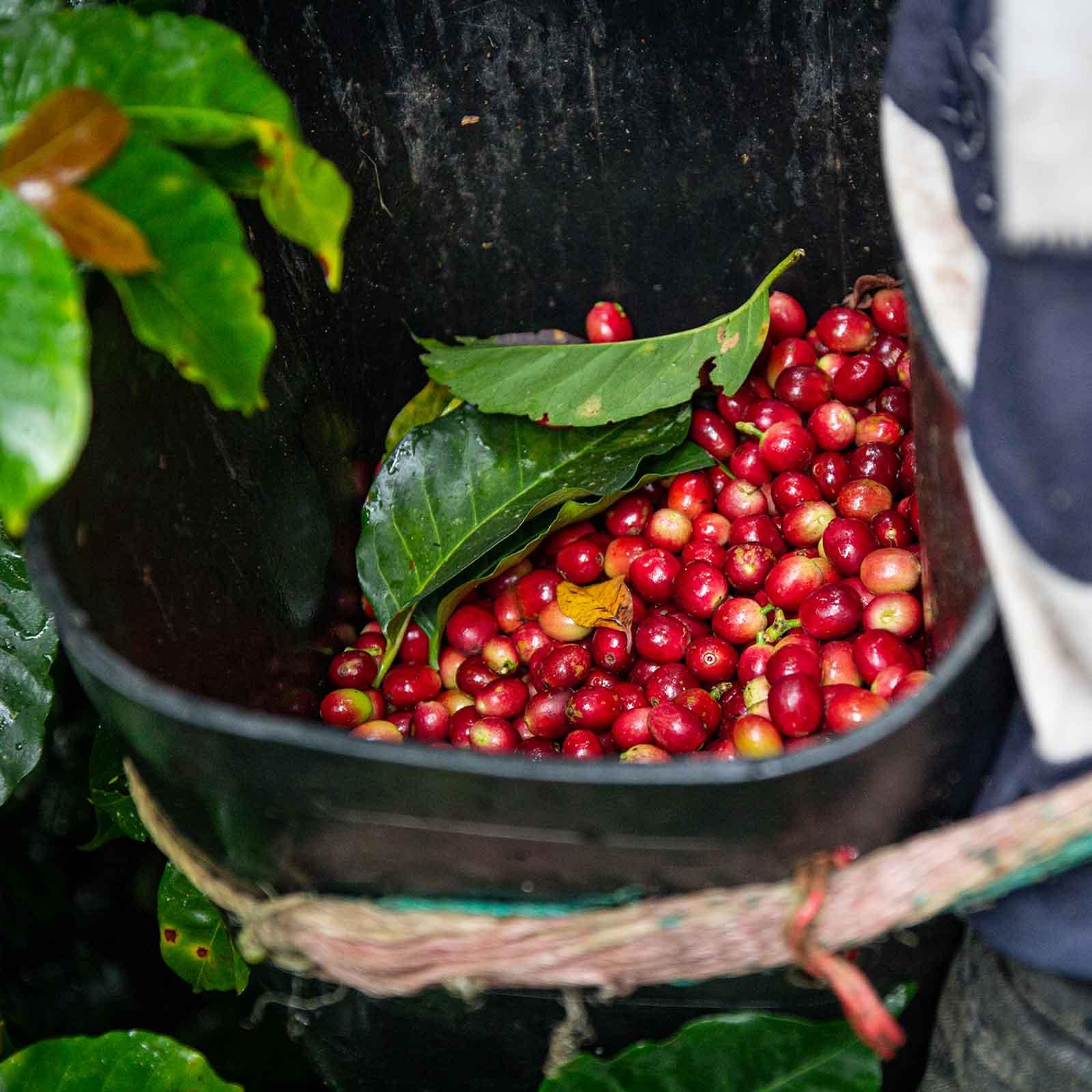 Broca-Befall an der Kaffeefrucht