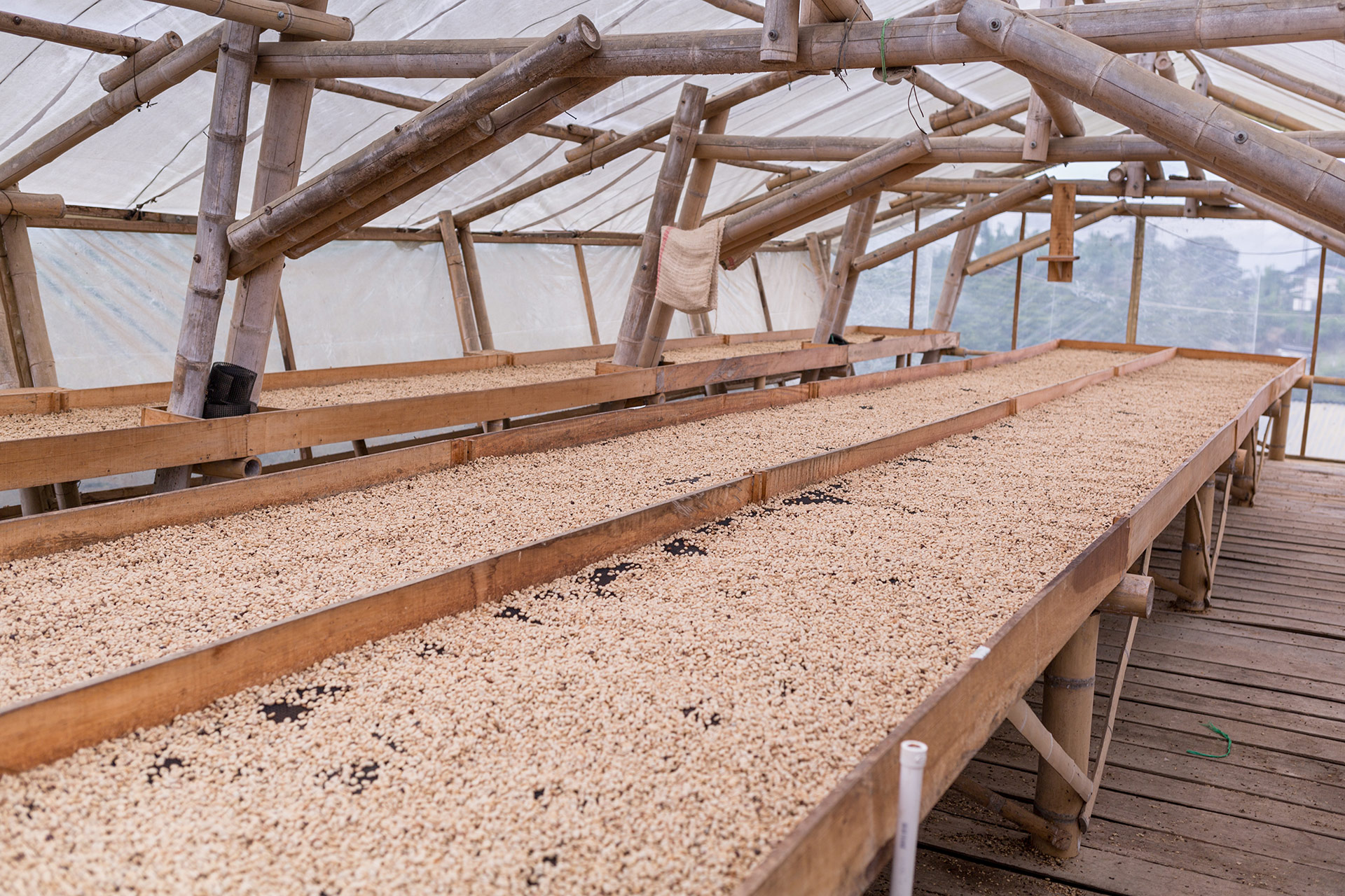 Kaffeebohnengröße: Bohnen beim Trocknen