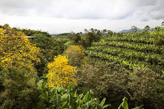 Ursprünglicher Kaffeeanbau zum Schutz der Natur und zum §rhalt der Biodiversität in Kolumbien