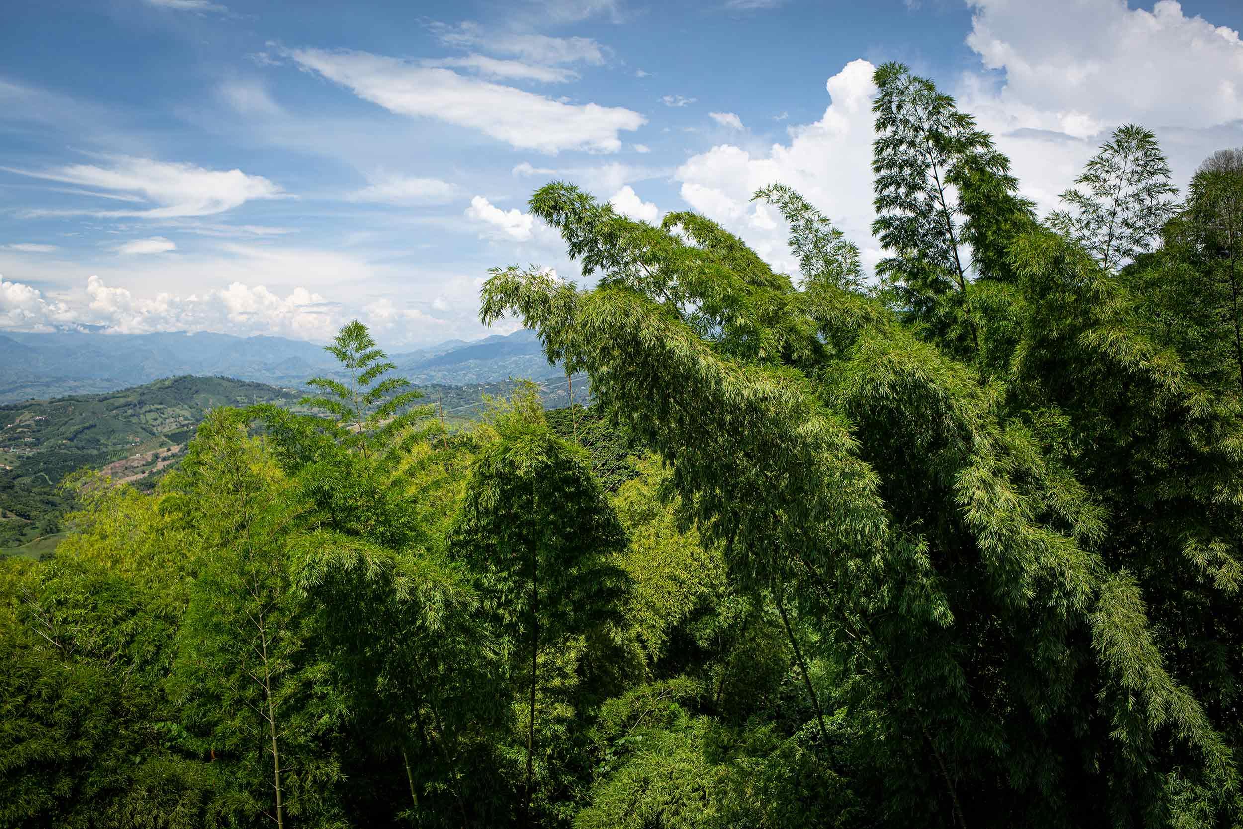 Guaduales und Bioversität beim Kaffeeanbau in Kolumbien. CafCaf Kaffeeblog