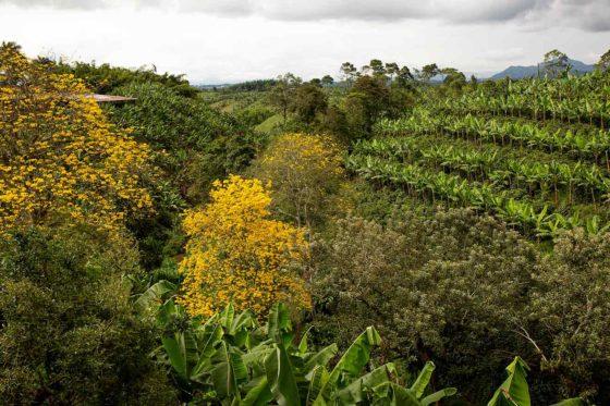 Guaduales und Biodiversität beim Kaffeeanbau in Kolumbien