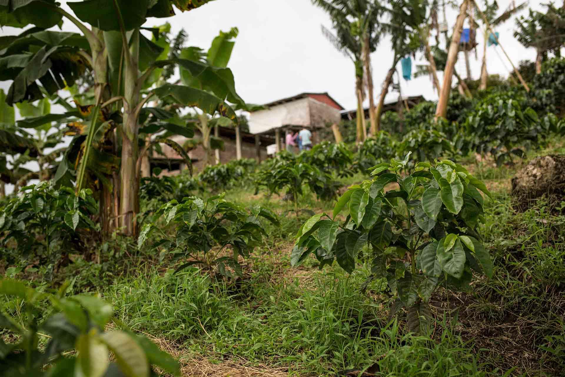 Kaffeepflanzen Aufzucht. CafCaf – Kaffee & Blog, Kaffeeblog