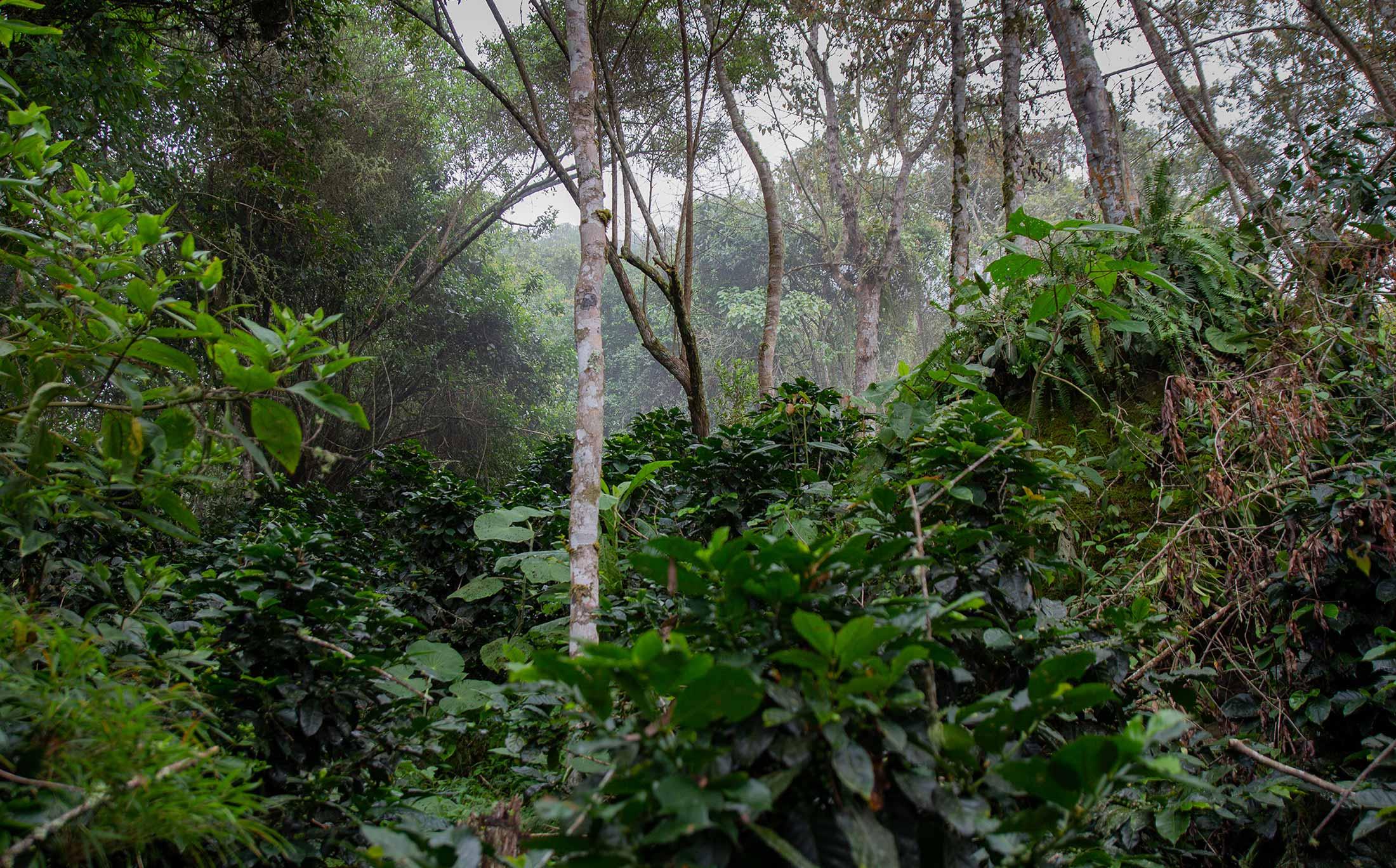 Kolumbianischer Wald Kaffee