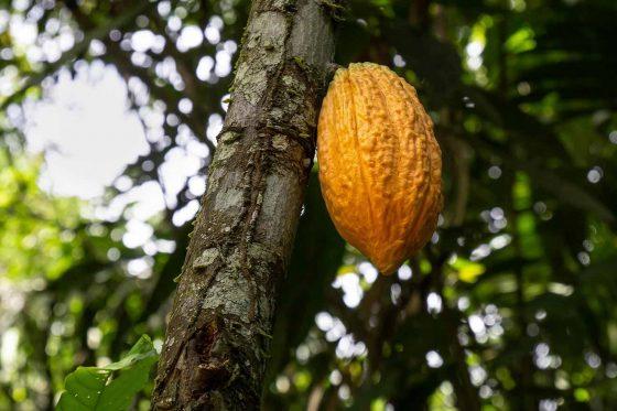 Cacao talks (EN)