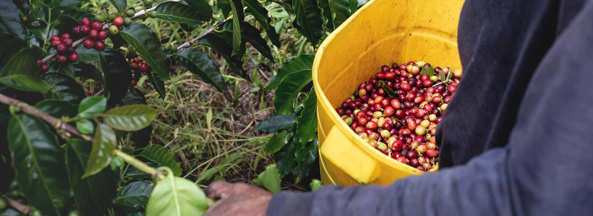 Über Kaffeeanbau und Kaffeeernte