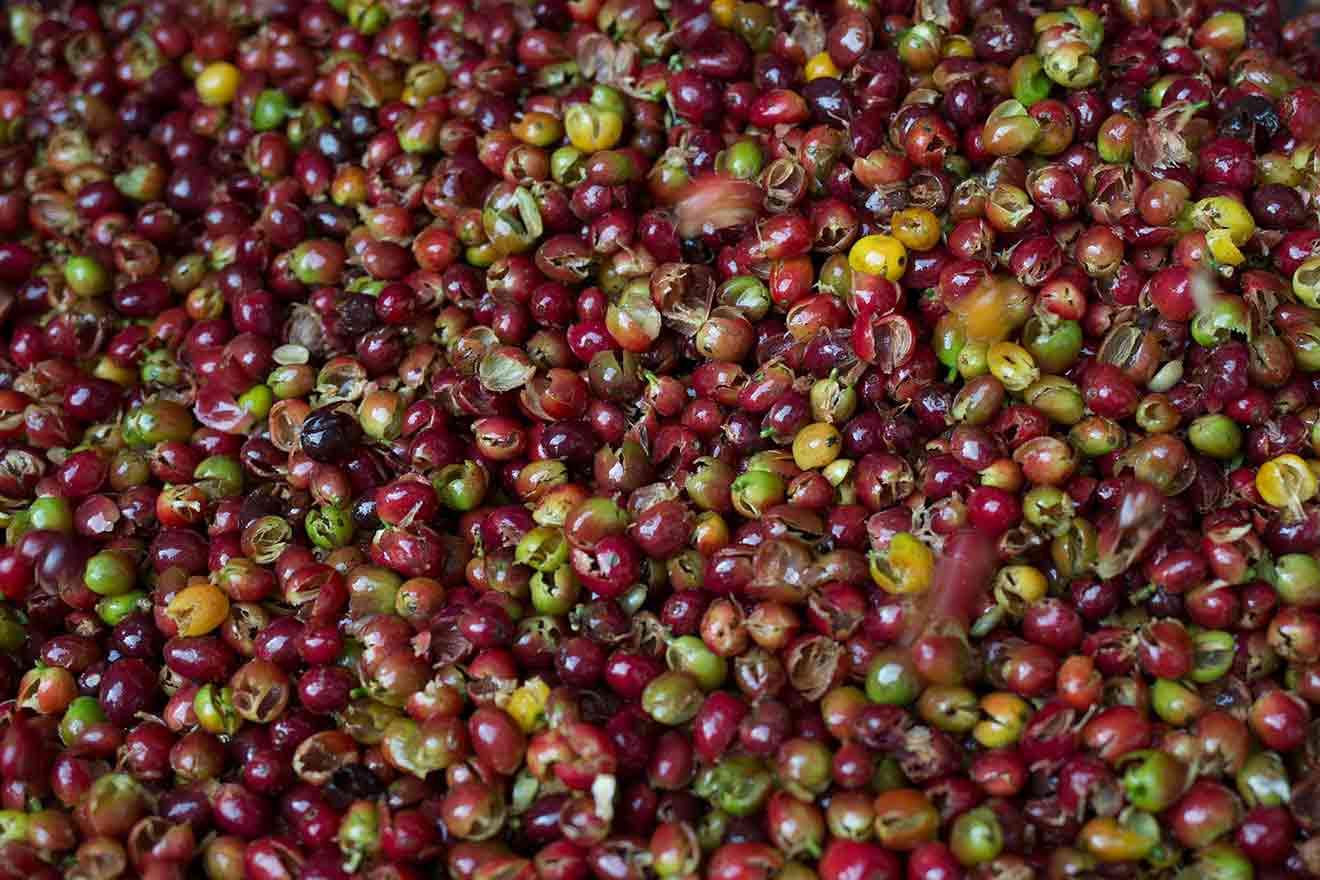 Zur Evolution der Kaffee-Fermentierung