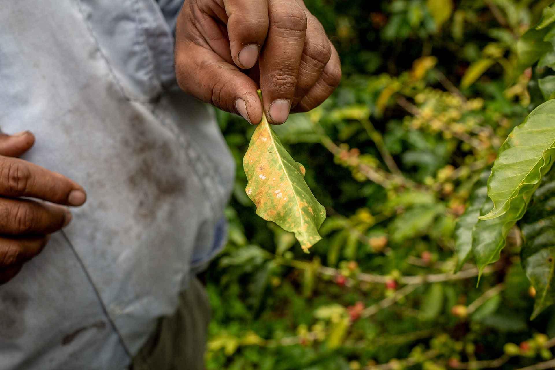 Kaffee und der Klimawandel. CafCaf – Kaffee & Blog, Kaffeeblog