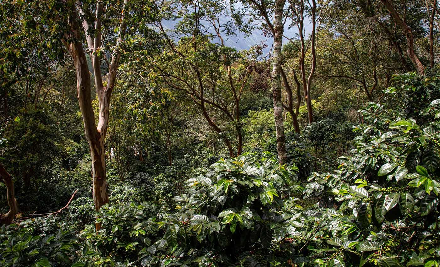 Wo Miguel Ángels kolumbianischer Wald-Kaffee wächst