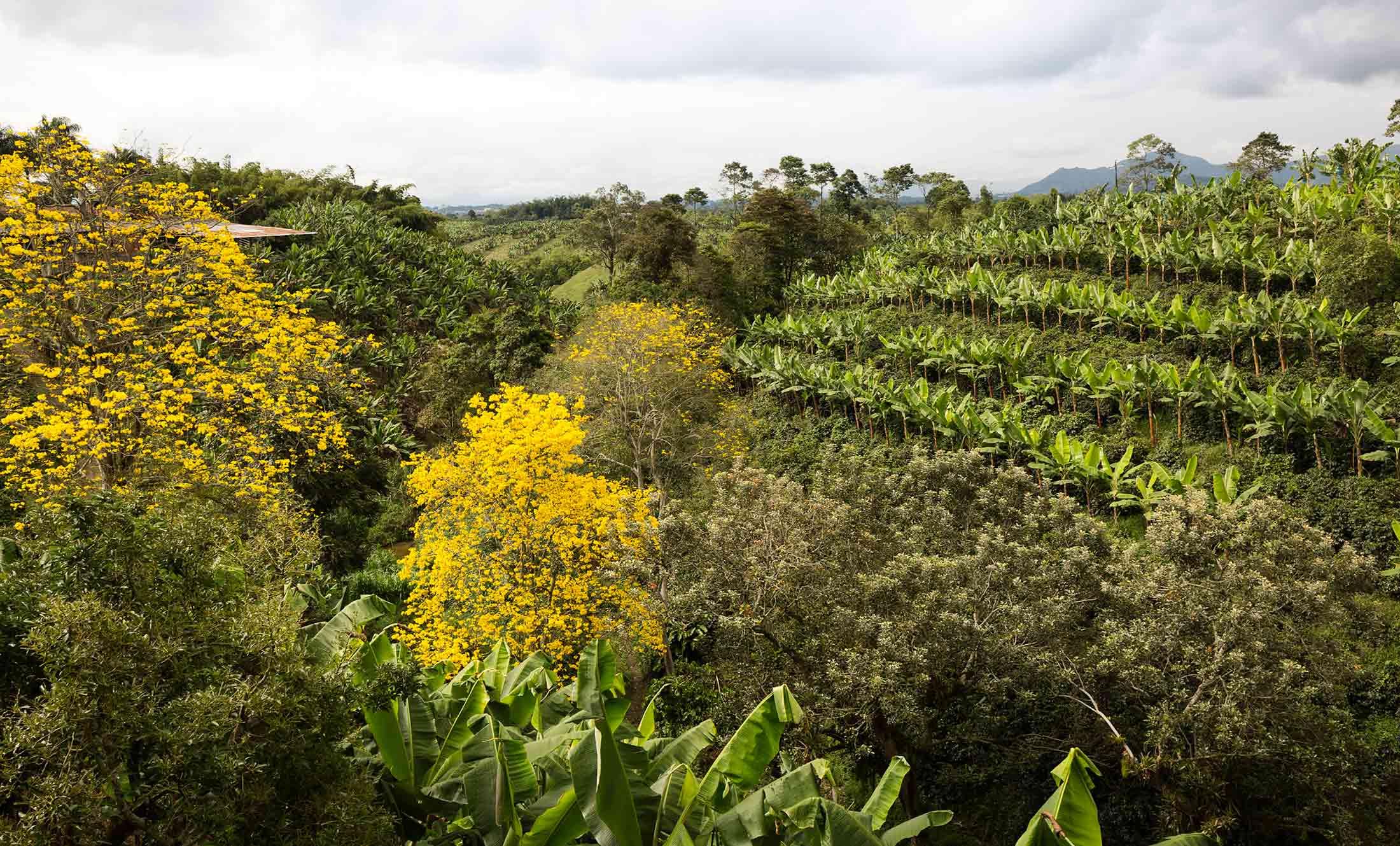 Guaduales und Bioversität beim Kaffeeanbau in Kolumbien.