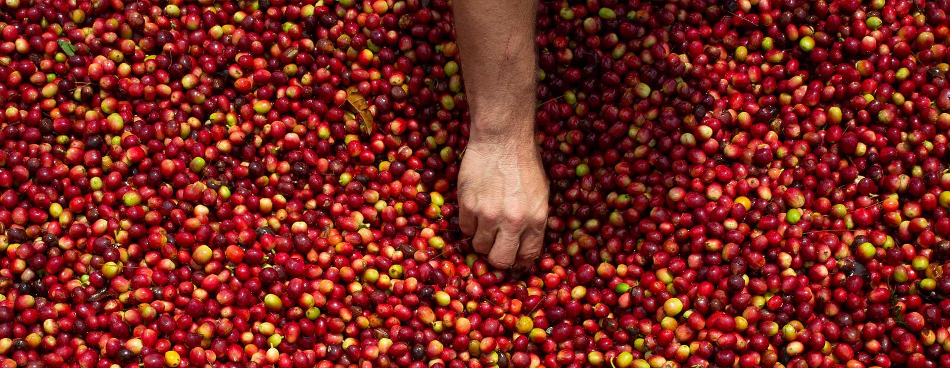 Das CafCaf Kaffee-Glossar: Kaffeewissen