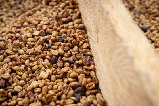 Kaffee-Fermentierung / Fermentation