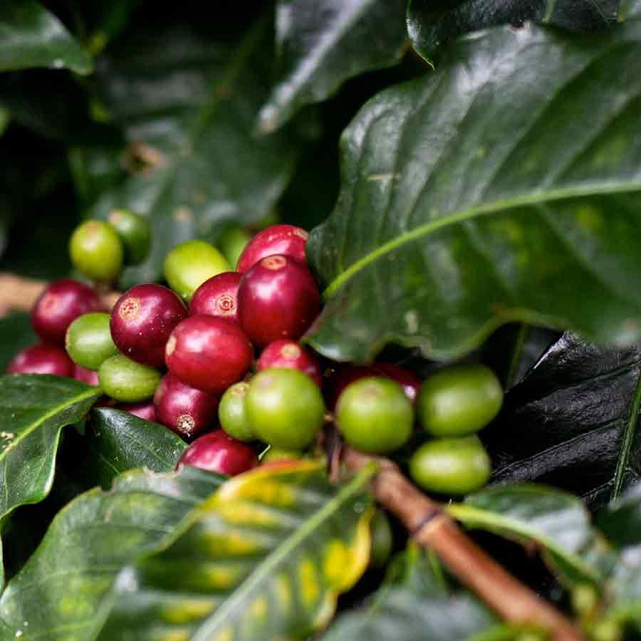 Kaffee Perlbohnen, Caracol. CafCaf.de – Kaffee & Blog, Kaffeeblog
