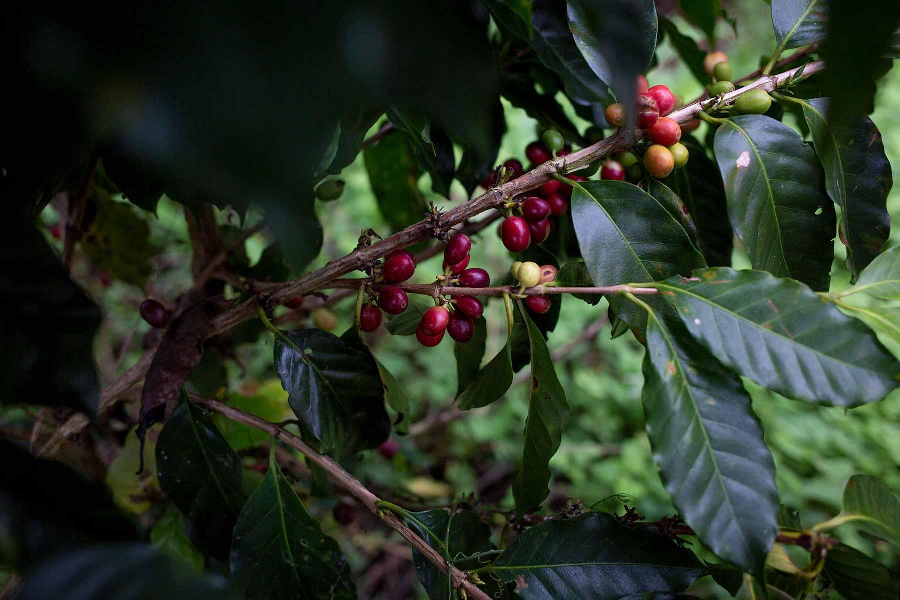 Kaffeevarietäten – die Unterschiede. CafCaf.de – Kaffee & Blog, Kaffeeblog