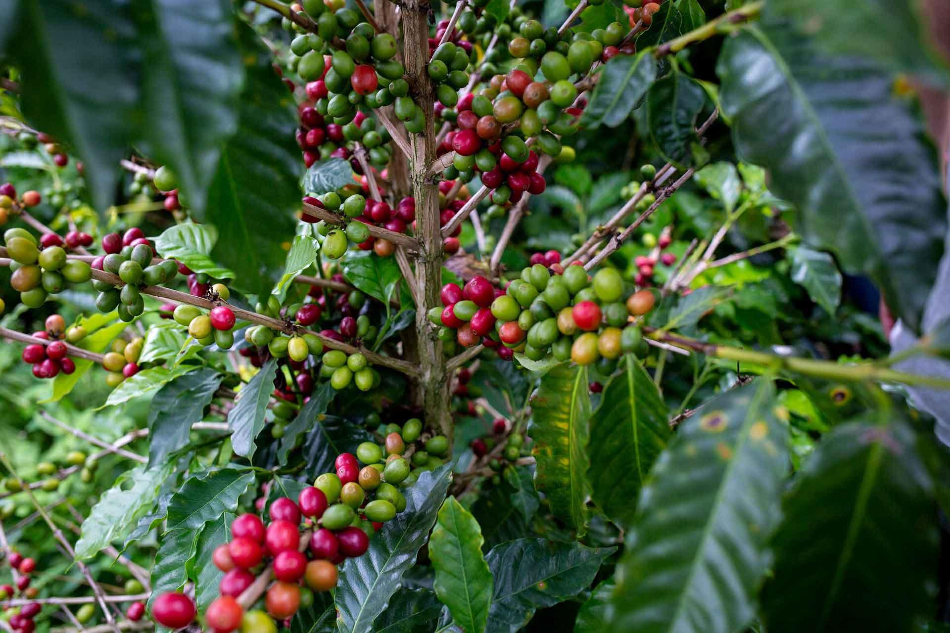 Was ist ein Microlot: CafCaf – Kaffee & Blog, Kaffeeblog