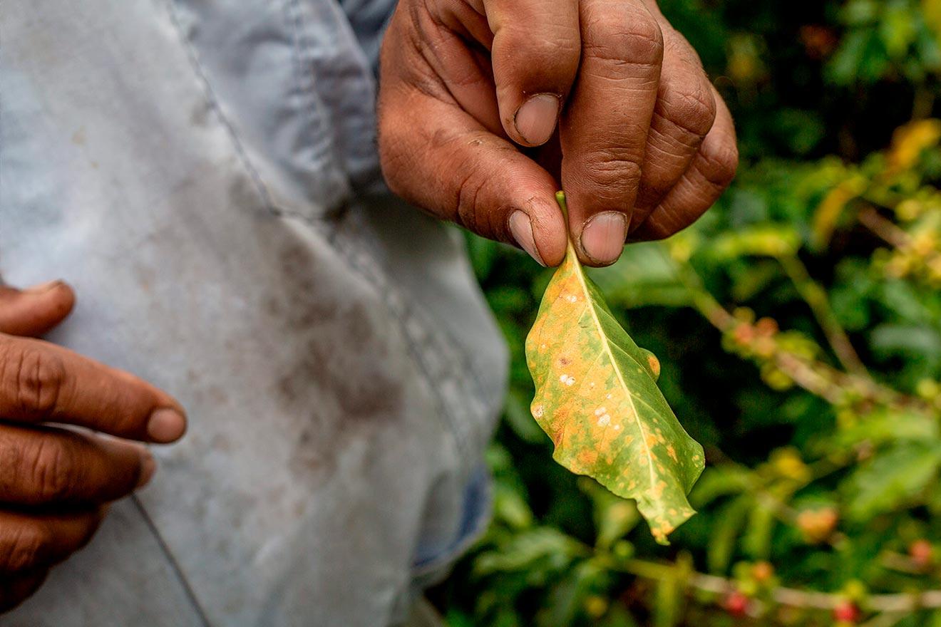 Kaffee in Zeiten des Klimawandels
