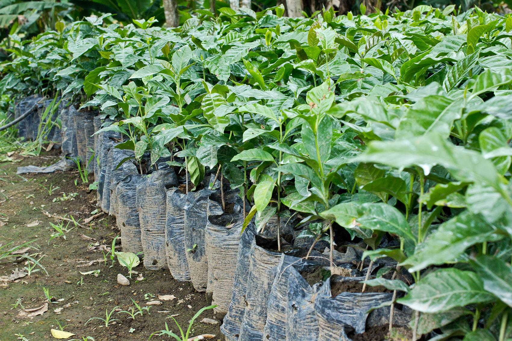 Kaffeepflanzen bei der Aufzucht