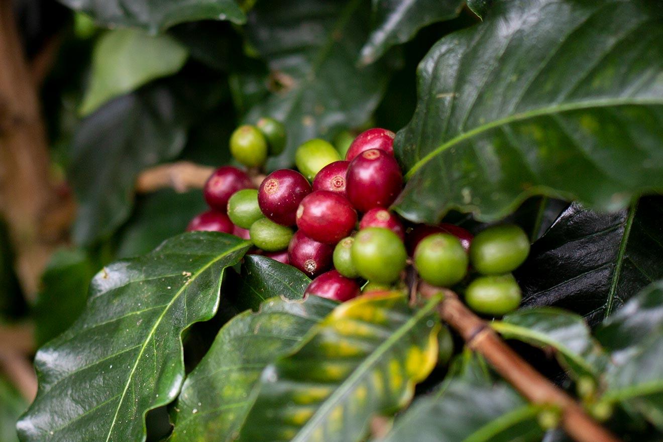 Perlbohnen – die Einzelkinder unter den Kaffeebohnen