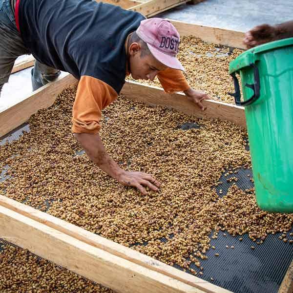 Carlos beim Trockensieb für unseren Honey Kaffee