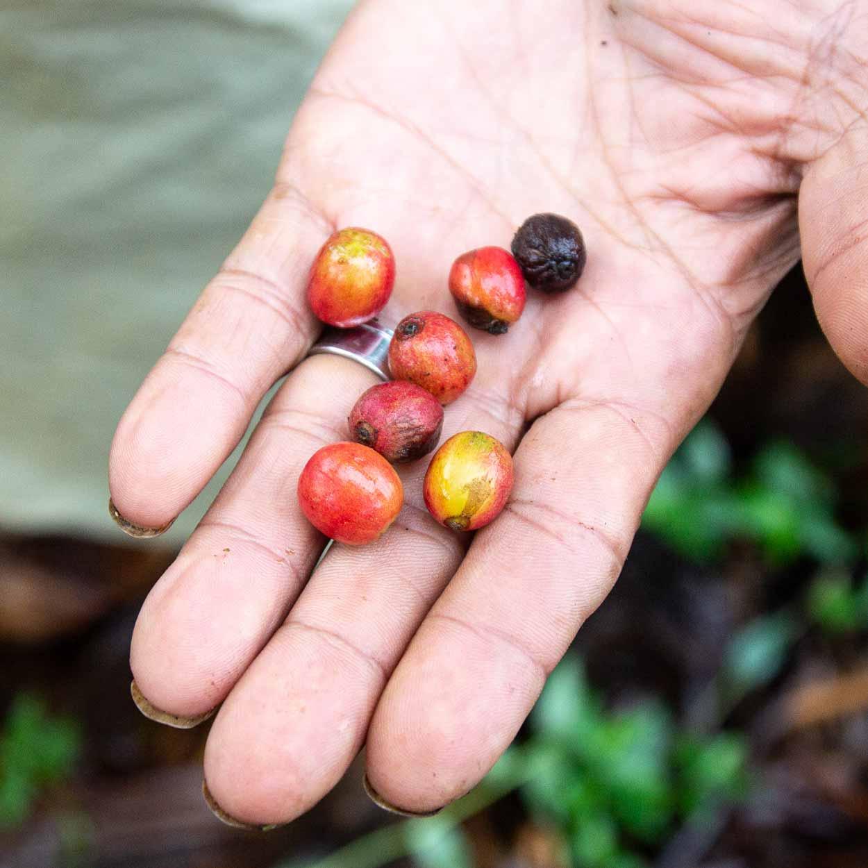 Kaffee-Ernte: Reife und unreife Früchte