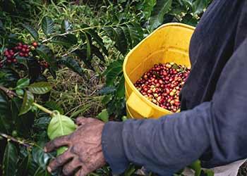 Kaffeeanbau & Ernte