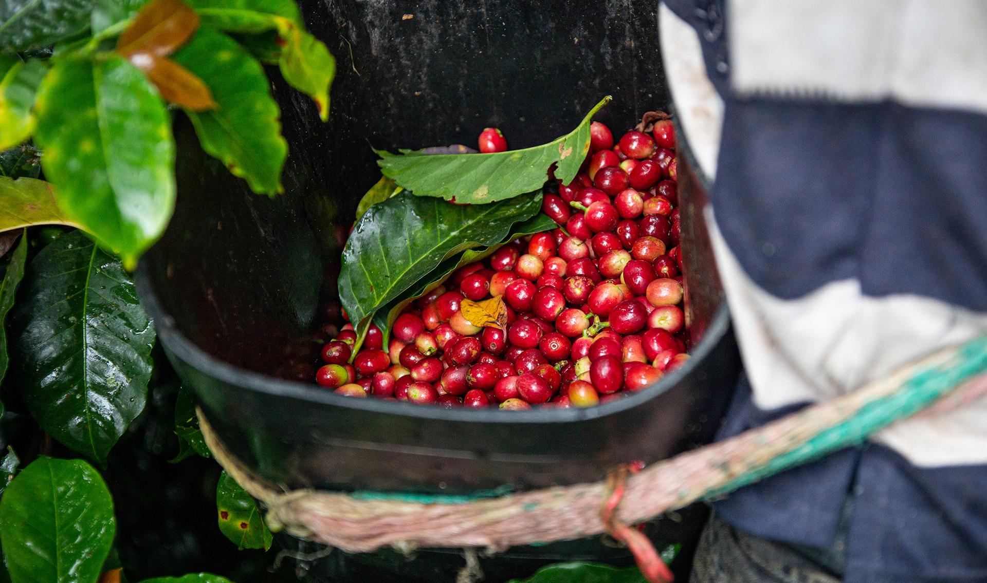 CafCaf Kaffee-Wiki: Alles über den Kaffeeanbau und die Ernte