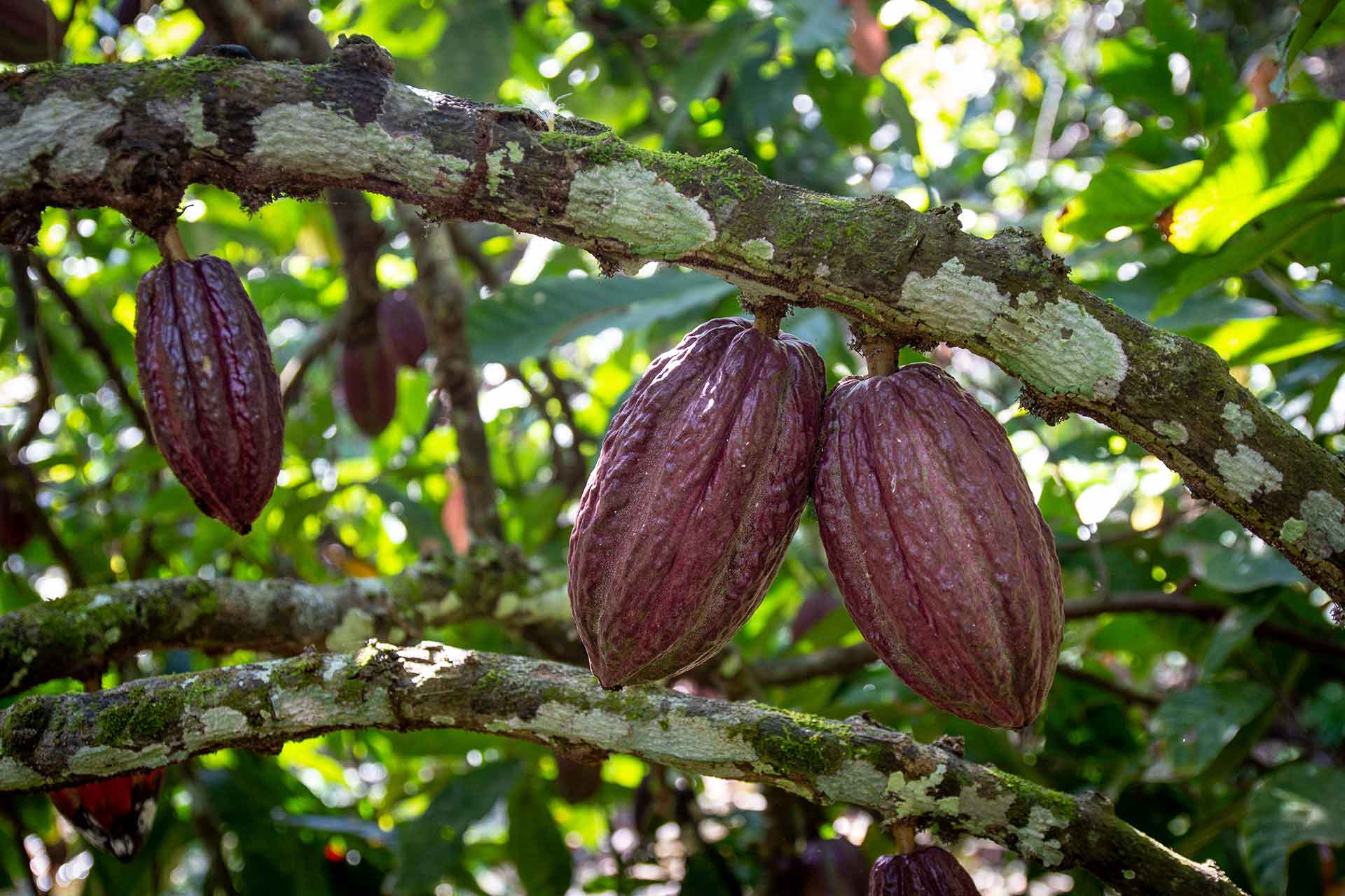 Cacao experts, Originalbeans Interview: CafCaf Stories. CafCaf – Kaffee & Blog, Kaffeeblog